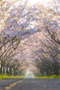 202003佐賀空港桜並木