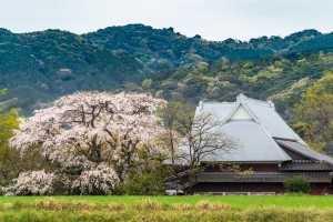 202003宝珠寺の枝垂れ桜