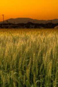 202005 麦畑①